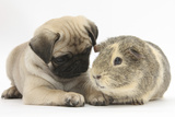 Fawn Pug Puppy, 8 Weeks, and Guinea Pig Papier Photo par Mark Taylor