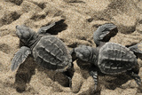Two Newly Hatched Loggerhead Turtles (Caretta Caretta) Heading for the Sea  Dalyan Delta  Turkey