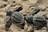 Two Newly Hatched Loggerhead Turtles (Caretta Caretta) Heading for the Sea, Dalyan Delta, Turkey Papier Photo par Zankl