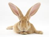 Flemish Giant Rabbit with Ears Erect