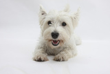 West Highland White Terrier Lying