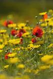 Meadow with Field Poppy (Papaver Rhoeas) and Crown Daisy (Chrysanthemum Coronarium) Flowers  Cyprus