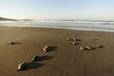 Newly Hatched Loggerhead Turtles (Caretta Caretta) Heading Down Beach to the Sea  Dalyan  Turkey