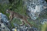 Wild Iberian Lynx (Lynx Pardinus) One Year Female  on Rocks  Sierra De Andújar Np  Andalusia  Spain
