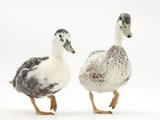 Two Call Ducks Walking