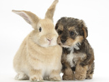 Yorkipoo Pup  6 Weeks Old  with Sandy Rabbit