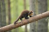 Pine Marten (Martes Martes) 4-5 Month Kit Walking Along Branch in Caledonian Forest  Scotland  UK