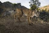 Wild Iberian Lynx (Lynx Pardinus) Male  Sierra De Andújar Np  Spain  Critically Endangered