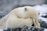 Polar Bear (Ursus Maritimus) with Paws Covering Eyes  Svalbard  Norway  September 2009