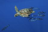 Loggerhead Turtle (Caretta Caretta) with a Shoal of Pilot Fish  Pico  Azores  Portugal  June