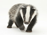 Portrait of a Young Badger (Meles Meles)