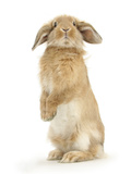 Sandy Lop Rabbit Sitting Up on its Haunches Papier Photo par Mark Taylor