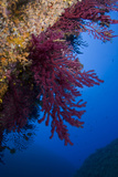 Gorgonian Coral on Rock Face Covered with Yellow Encrusting Anemones, Sponges and Corals, Corsica Papier Photo par Pitkin