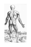 Woodcut Illustration of the Superficial Muscles in Posterior View