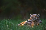 Coyote Lounging in Alpine Meadow