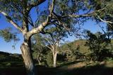 Eucalyptus Forest in Parachilna Gorge