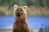 Brown Bear Standing Erect in Katmai National Park