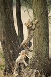Cheetah Cubs Playing at Ngorongoro Conservation Area, Tanzania Papier Photo par Paul Souders