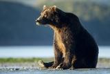 Brown Bear  Katmai National Park  Alaska