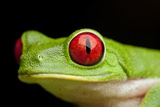 Red Eyed Tree Frog, Costa Rica Papier Photo par Paul Souders
