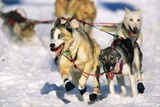 Sled Dogs Racing Through Snow