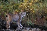 Lynx Near Toklat River in Alaska