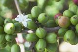 Flower and Coffee Cherries