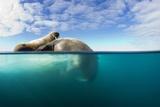 Walrus, Svalbard, Norway Papier Photo par Paul Souders
