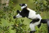 Black and White Ruffed Lemur  Madagascar
