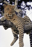Leopard Lying in Tree Papier Photo par Paul Souders