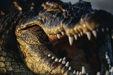 Nile Crocodile with Open Mouth