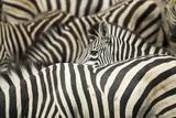 Plains Zebra, Chobe National Park, Botswana Papier Photo par Paul Souders