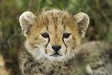 Cheetah Cub at Ngorongoro Conservation Area  Tanzania