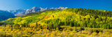 Aspen Trees on Mountains  Uncompahgre National Forest  Colorado  USA