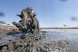 Warthog in Mud Hole  Chobe National Park  Botswana