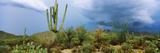 Cacti Growing at Saguaro National Park  Tucson  Arizona  USA