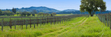 Vineyard in Sonoma Valley  California  USA