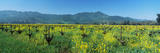 Wild Mustard in a Vineyard  Napa Valley  California  USA