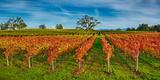 Autumn Vineyard at Napa Valley  California  USA