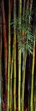Close-Up of Bamboos  Kanapaha Botanical Gardens  Gainesville  Florida  USA