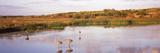 Sandhill Cranes (Grus Canadensis) in a Pond at a Celery Field  Sarasota  Sarasota County
