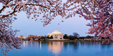 Cherry Blossom Tree with a Memorial in the Background  Jefferson Memorial  Washington Dc  USA