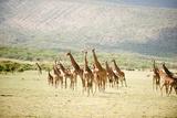 Masai Giraffes (Giraffa Camelopardalis Tippelskirchi) in a Forest  Lake Manyara  Tanzania