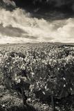 Chateau Lafite Rothschild Vineyards in Autumn  Pauillac  Haut Medoc  Gironde  Aquitaine  France