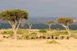 Great Migration of Wildebeests, Masai Mara National Reserve, Kenya Papier Photo par Green Light Collection