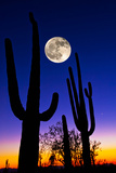 Moon over Saguaro Cactus (Carnegiea Gigantea)  Tucson  Pima County  Arizona  USA