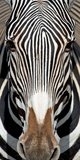 Grevey's Zebra  Samburu National Reserve  Kenya