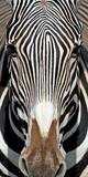Grevey's Zebra, Samburu National Reserve, Kenya Papier Photo