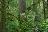 Redwood Trees and Rhododendron Flowers in a Forest  Jedediah Smith Redwoods State Park