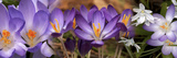 Details of Early Spring and Crocus Flowers